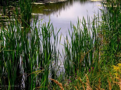 latvia riga jugla rīga latvija lettland olympus sp550uz pond green water nature landscape flora flowers grass irina galitskaya galterrashulc