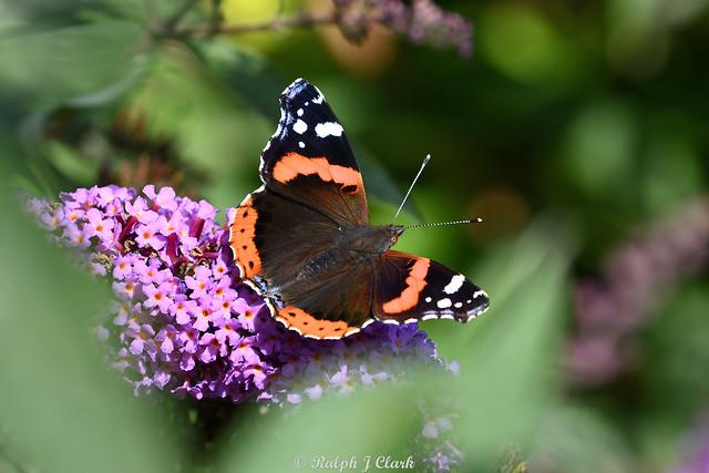 Buddleia Beauty