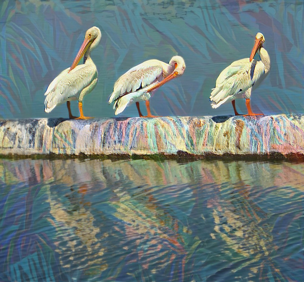 3 Pelicans reflected