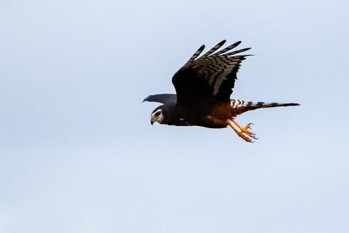 Gavilán planeador - Long-winged harrier