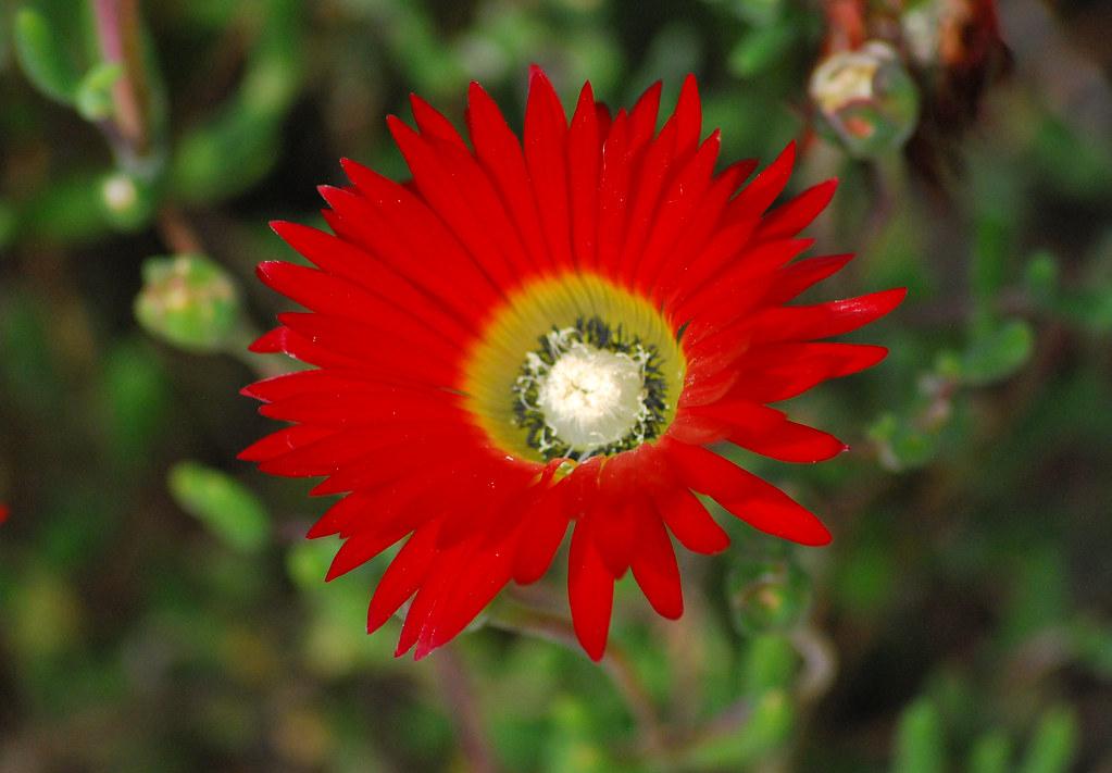 Flor muy roja