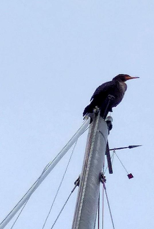 Cormorant on a mast