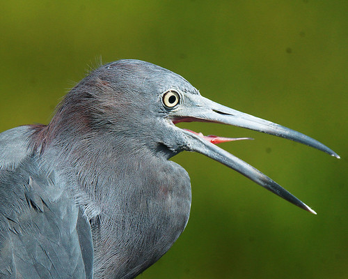 Little Blue Heron | by pbcbob2