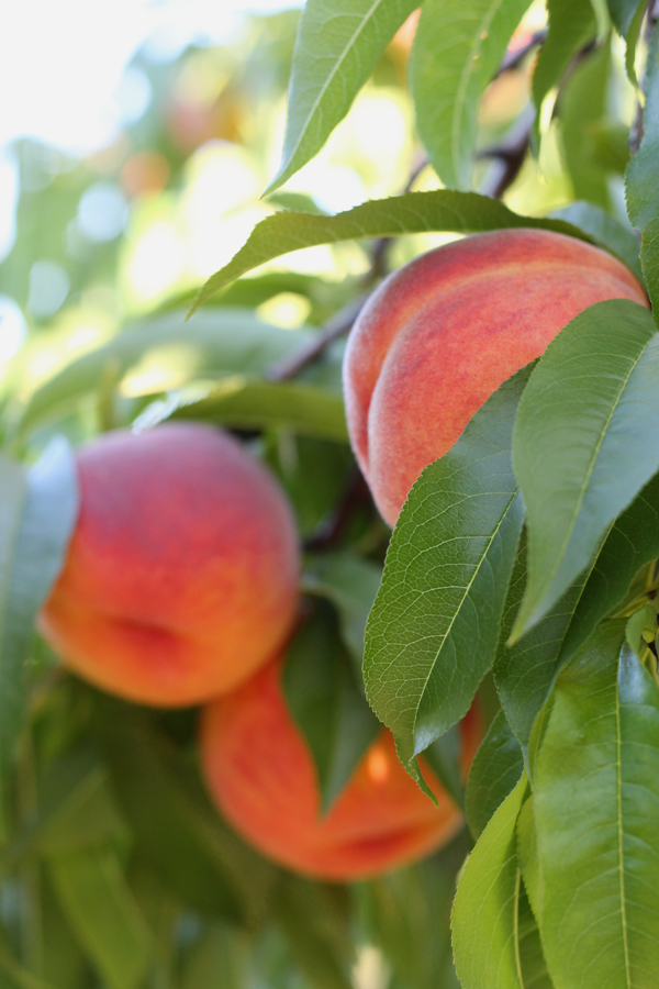 upstate ny peaches