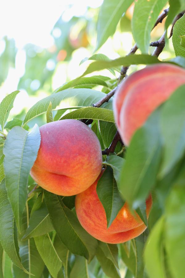 peaches rochester ny