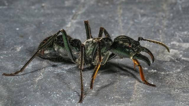 Dinoponera australis 2018.11.07_02