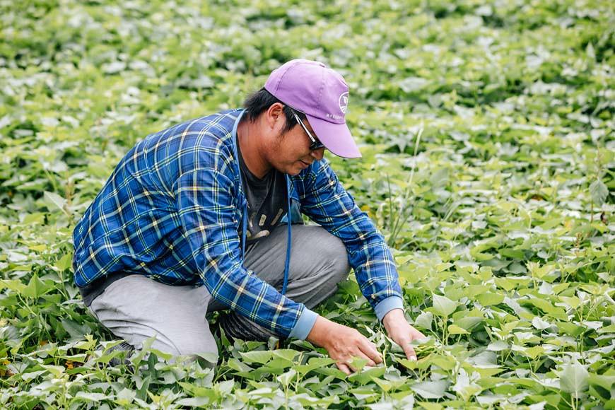 鄭家農園分別有露天、網室、溫室等不同栽種環境,由於夏季高溫難耐,露天田區多數僅種植耐旱的地瓜葉。