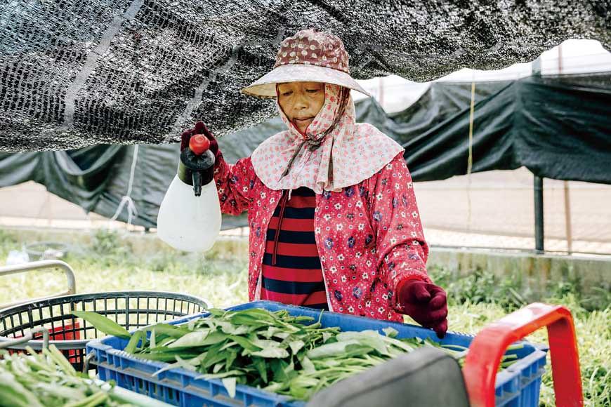 夏季時,採收的蔬菜會先噴水於葉面保水,採收量達2籃後,便需趕緊將蔬菜載至3∼4℃的冷藏櫃存放,等待運送。