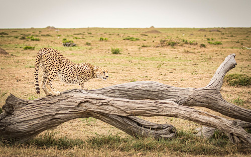Mara landscape with fallen tree and Cheetah (Explored)