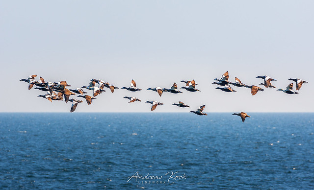 Common eiders series - On their way (Explored)