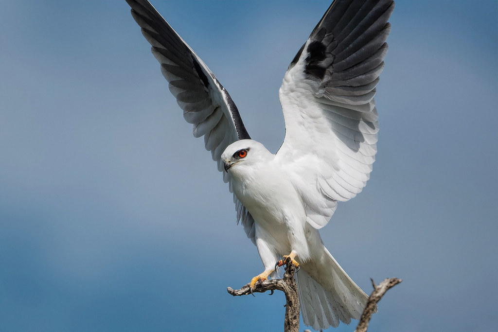 Black-shouldered Kite: Touch Down