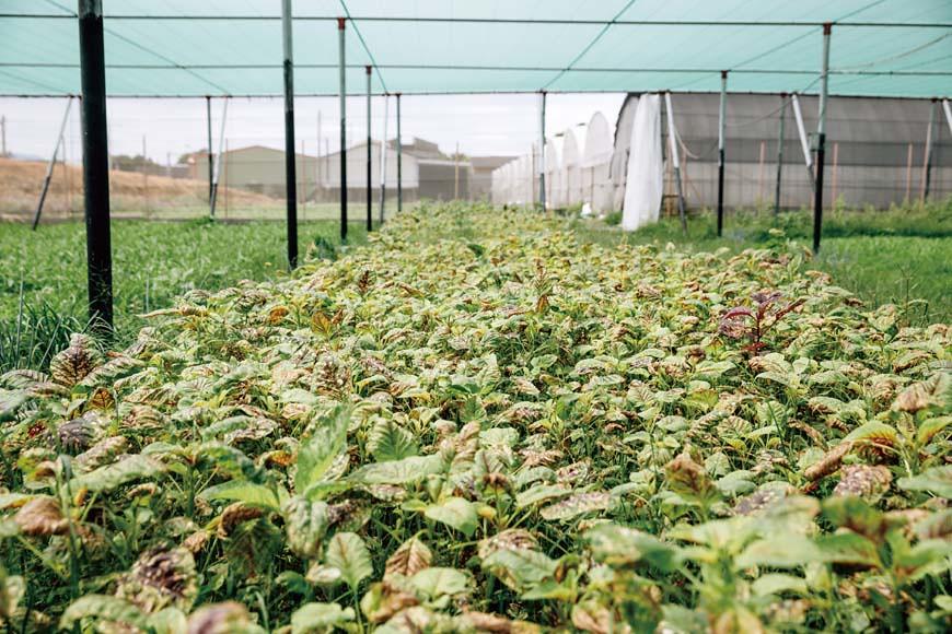 網室裡的紅莧菜因強降雨後的濕熱高溫,防治不及,導致銹病菌入侵,葉面皆被感染,全軍覆沒無法採收。
