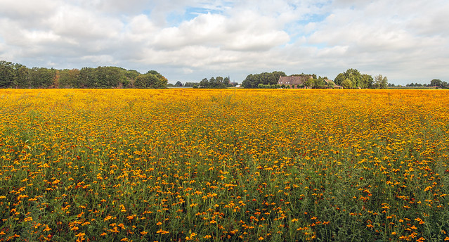 Large field with orange flowering African Marigold plants