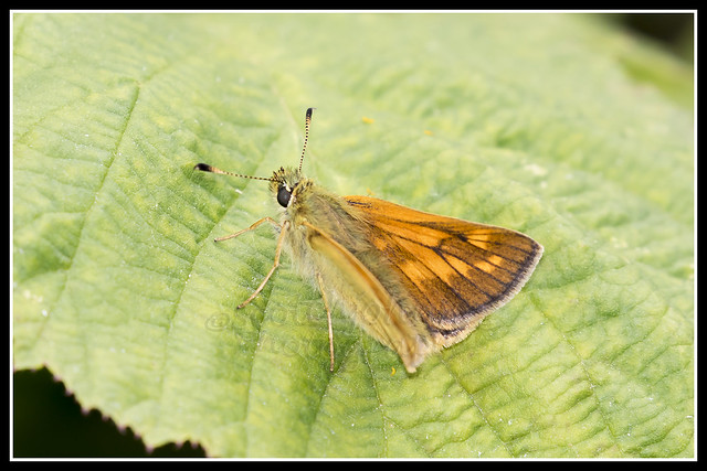 IMG_0064 Large Skipper Butterfly