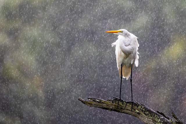 Great Egret Caught in the Rain