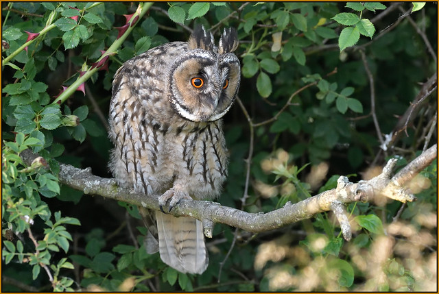 Long-eared Owl (image 1 of 3)