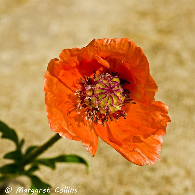 September - Oriental Poppy 1