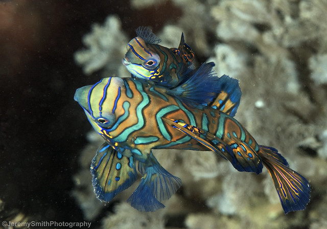 Mandarinfish, Synchiropus splendidus, Alami Alor House reef, Alor, Indonesia