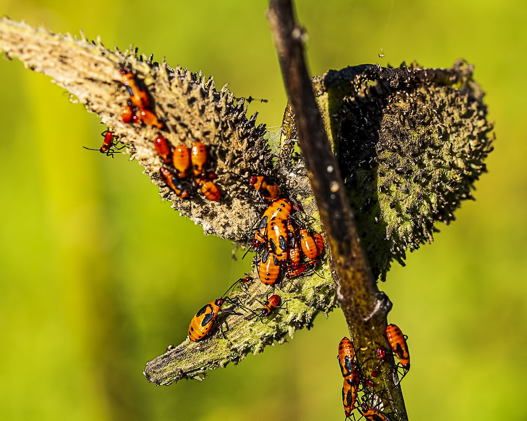 Milkweed Seedpod & Milkweed Beetles