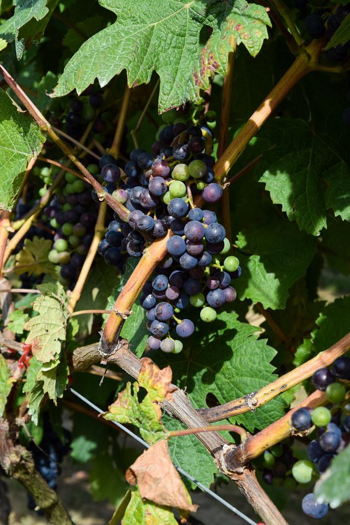 Ripening Grapes at Biddenden Vineyard