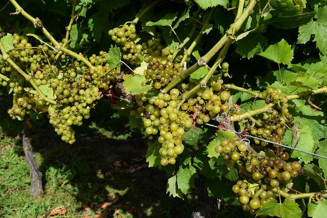 Ortega Grapes at Biddenden Vineyard