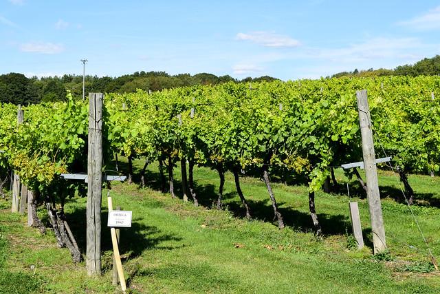 Kentish Vines at Biddenden Vineyard