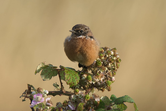 Stonechat Salterstown Louth