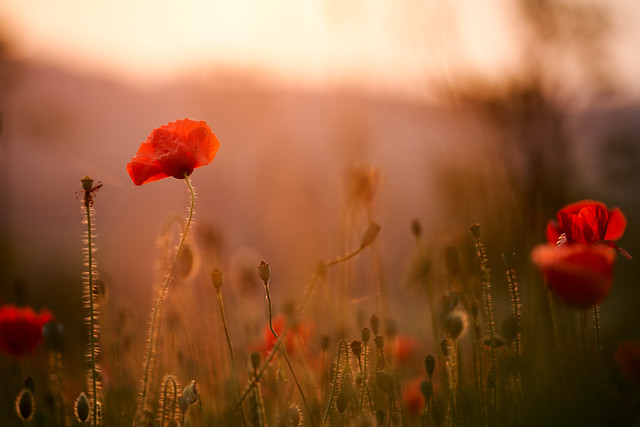 The sunset poppies