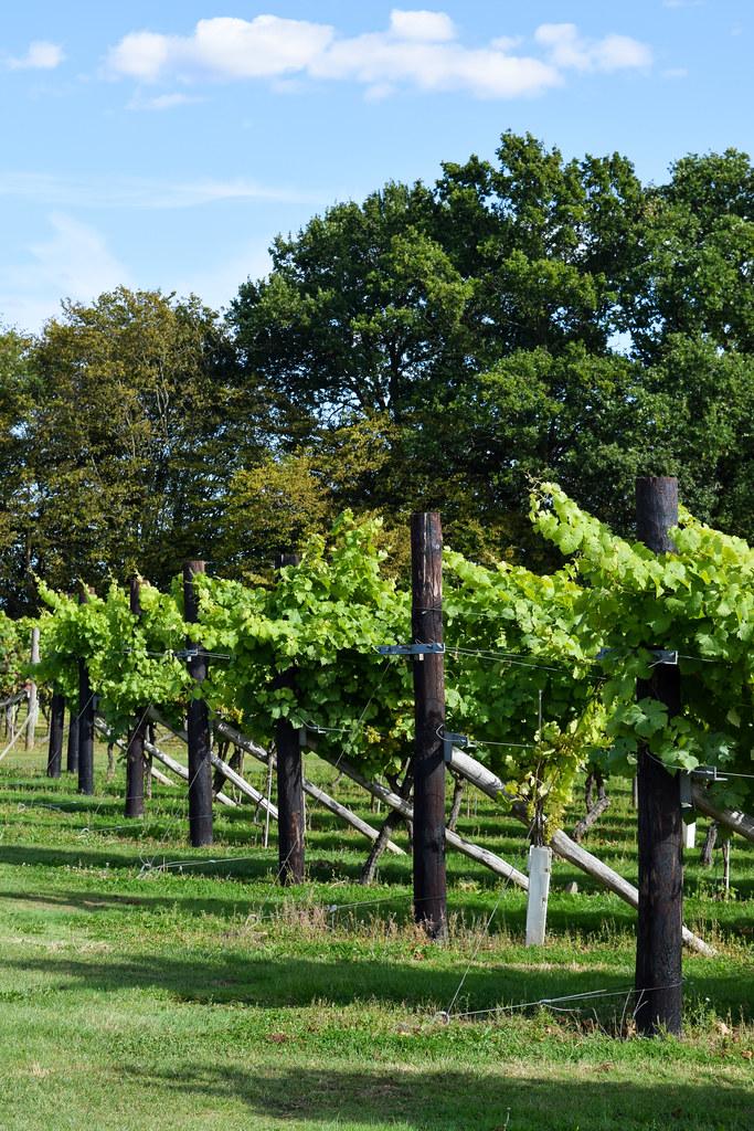 Vines at Biddenden Vineyard
