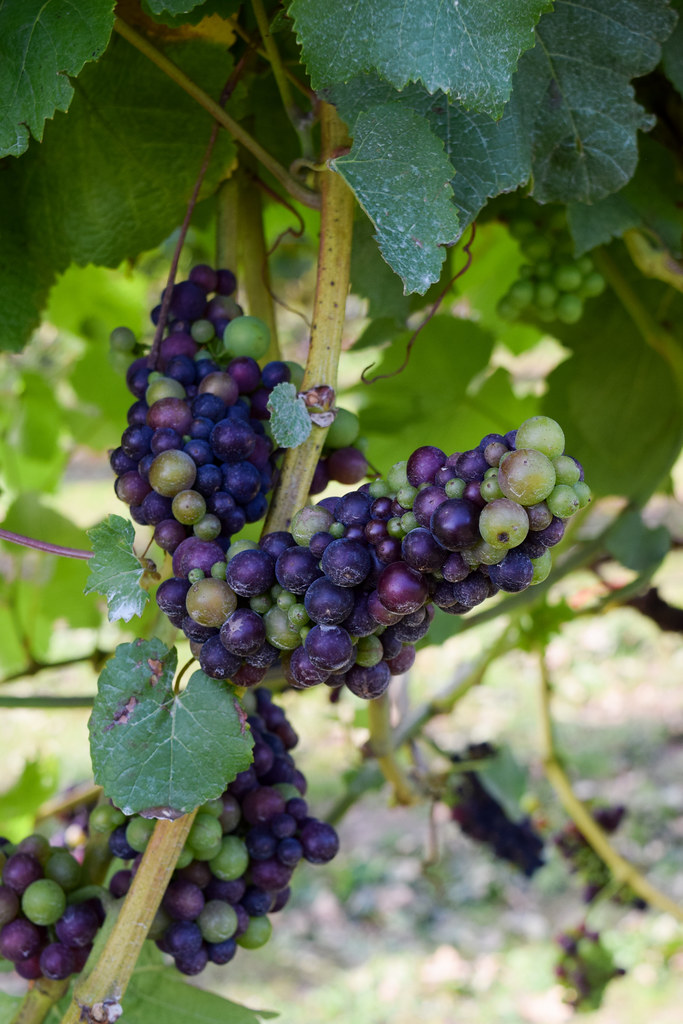 Pinot Noir Grapes at Biddenden Vineyard