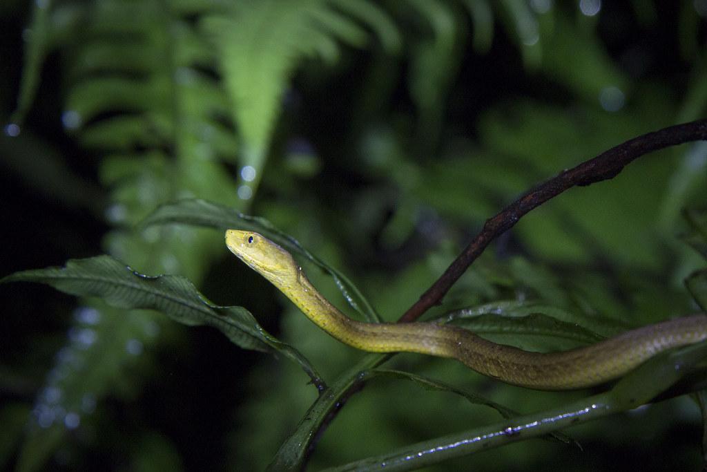 茶斑蛇。攝影:周昭蕊