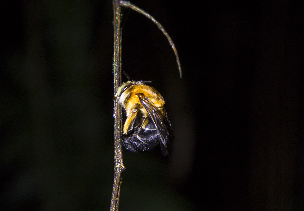 枝條上睡覺的蜂。攝影:周昭蕊
