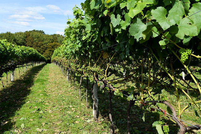 Growing Kentish Grapes at Biddenden Vineyard