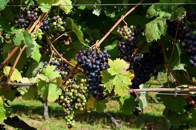 Gamay Grapes at Biddenden Vineyard
