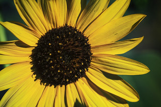 Sunflowers In the Bosque 2