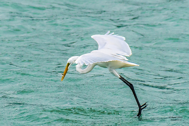 Great egret (大白鷺) at Mui Wo, Hong Kong  (香港 梅窩)