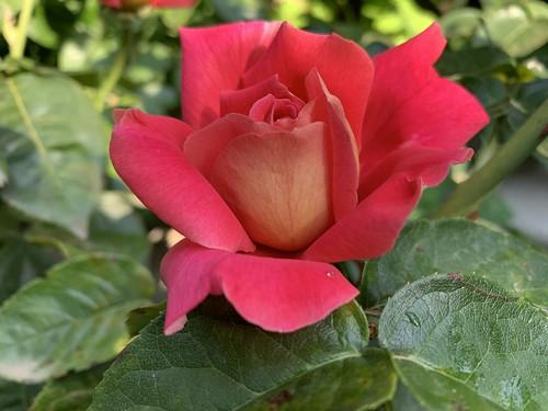 Красный цветок. Red flower.