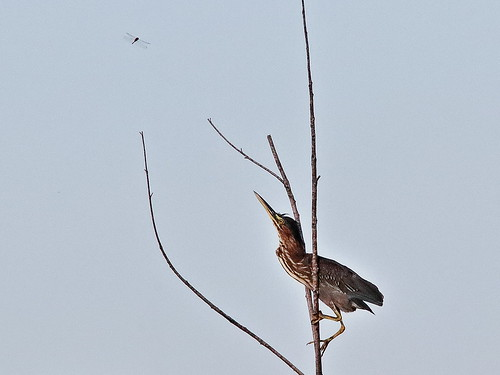 Green Heron catches dragonfly 02-20190906
