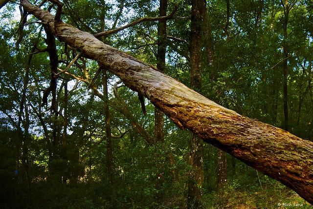 Old Fallen Oak