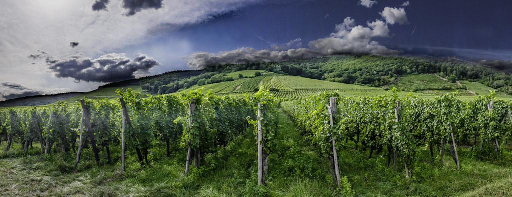 Les vignes du Haut-Koenigsbourg... 48689653143_0dd1202fd2_b