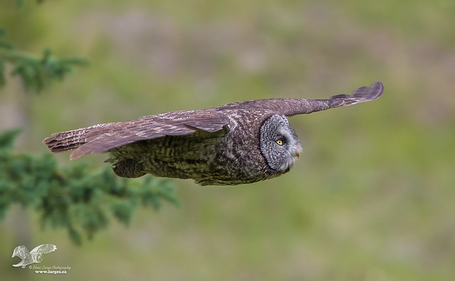 Pancake Shot (Great Grey Owl)