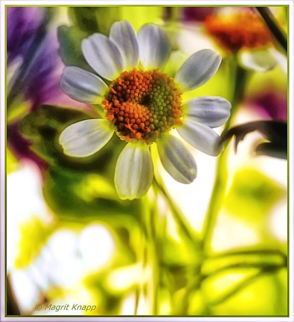 Mein Freitagsblümchen ist die Kamille<3<3<3