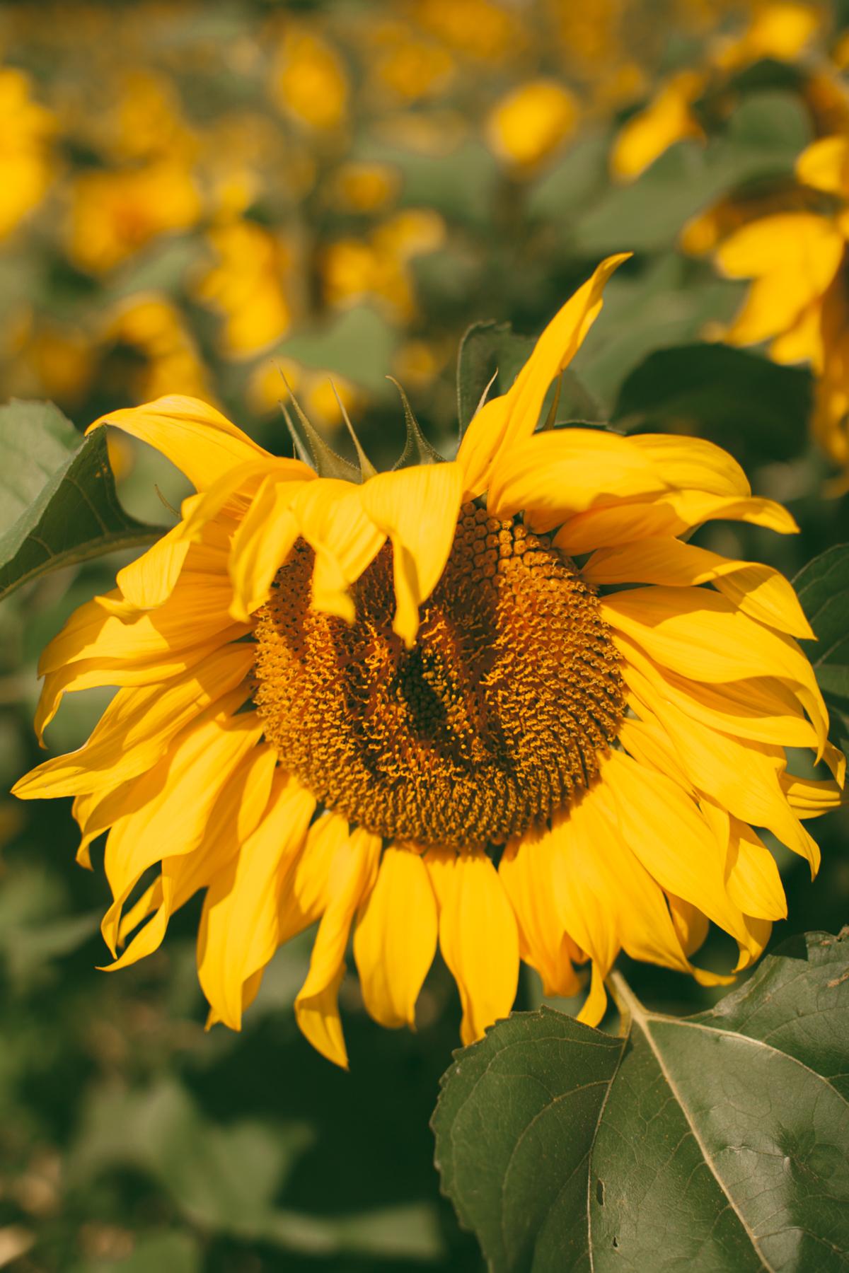sunflower-44