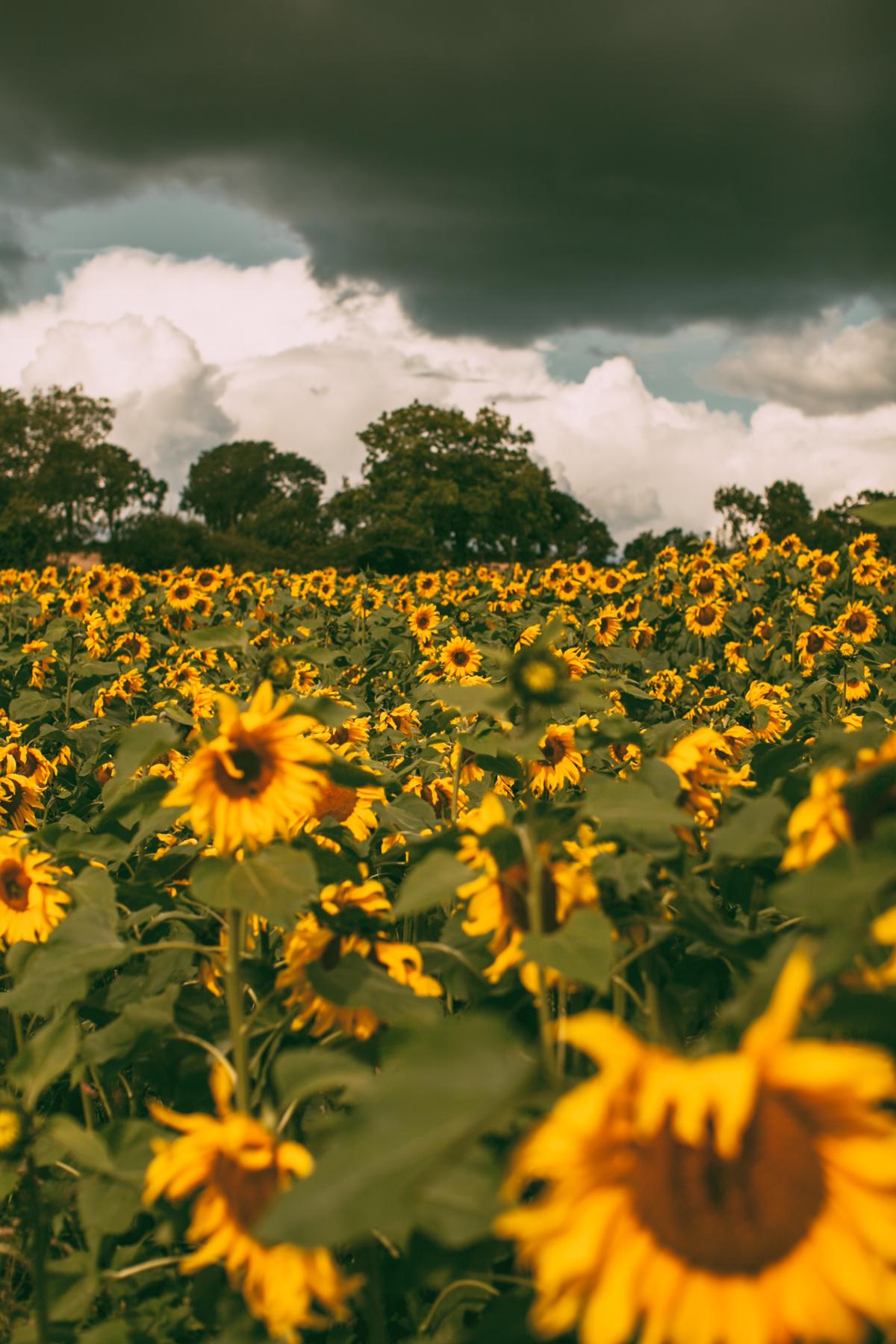 sunflower-19