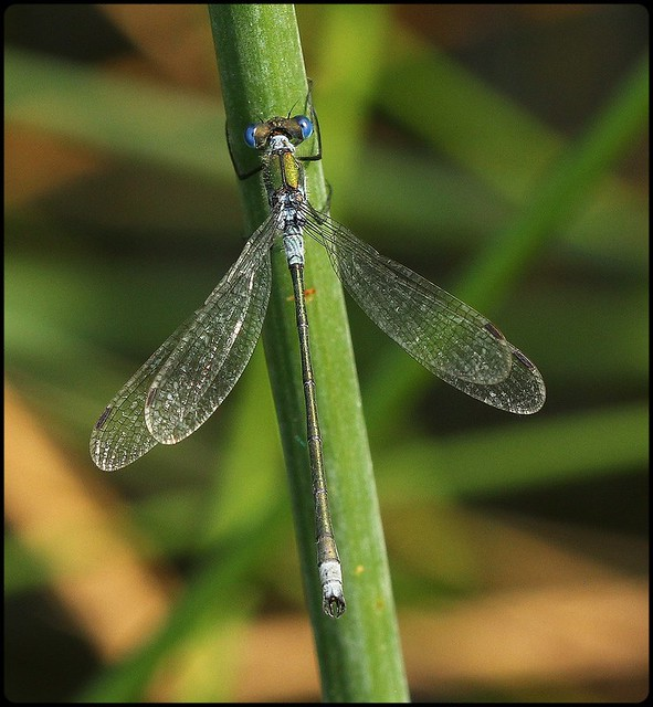 Emerald Damselfly II