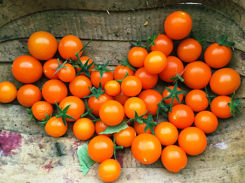 Solanum lycopersicum 'Orange Rapture'