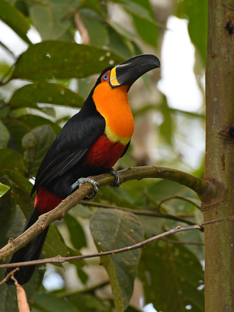 Channel-billed Toucan // Tucano-de-bico-preto