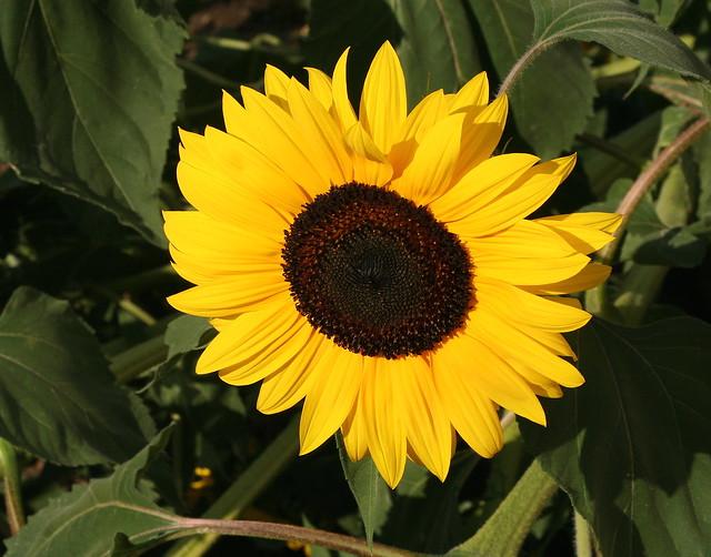 Sunflower in the September Sun