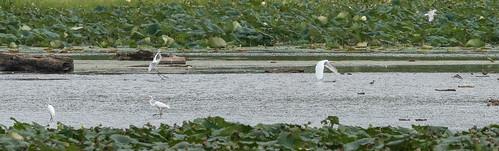 shorebird clarksville ringbilledgull greategret ohio birds cowanlake waterfowl clintoncounty