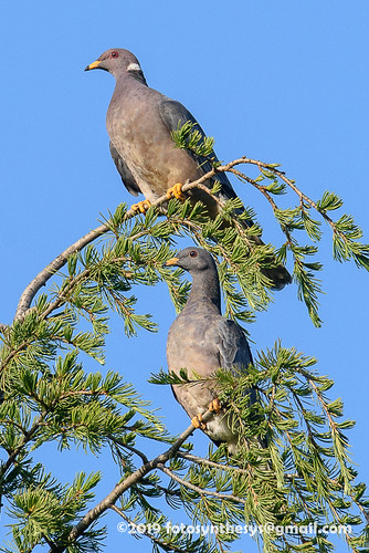 Pacific Band-tailed Pigeon (Patagioenas fasciata monilis), adult and juvenile DSC_7930
